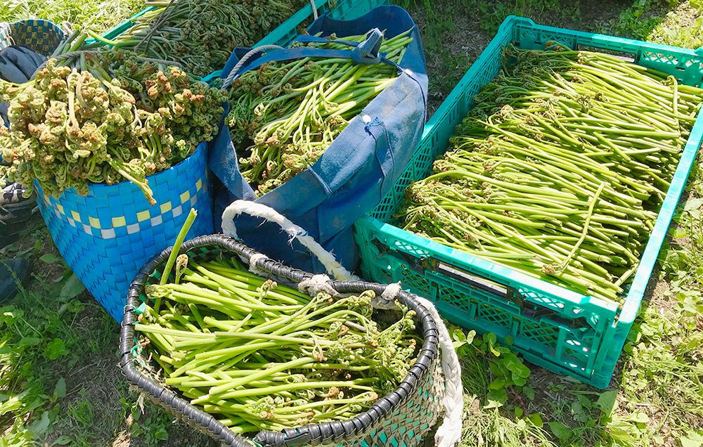 山菜採り体験(ワラビ)